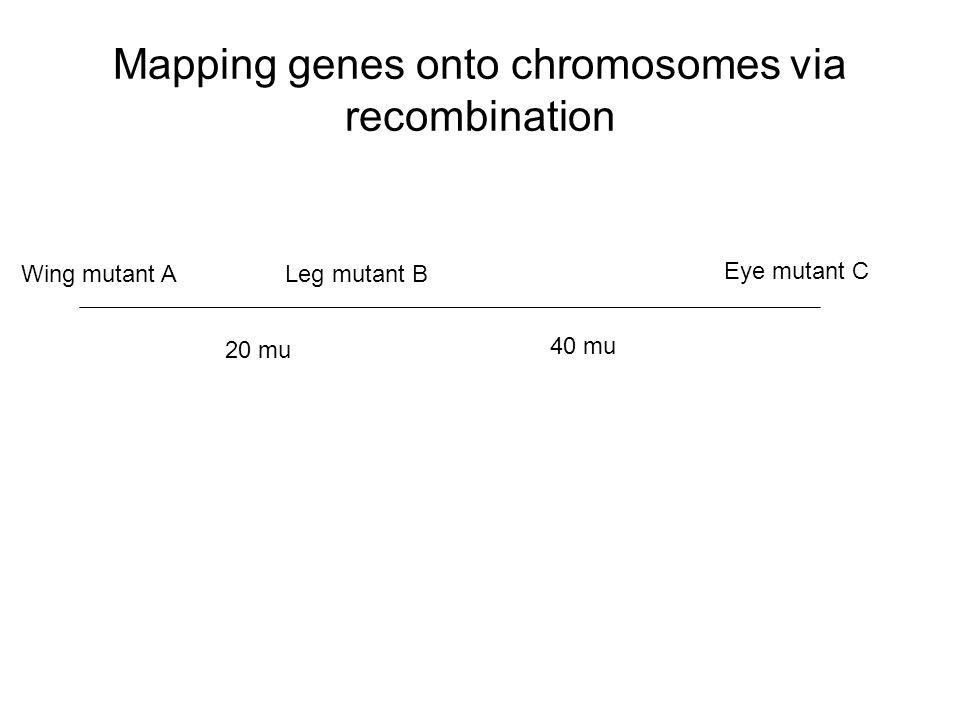 Mapping genes onto chromosomes via recombination Wing mutant ALeg mutant B Eye mutant C 20 mu 40 mu