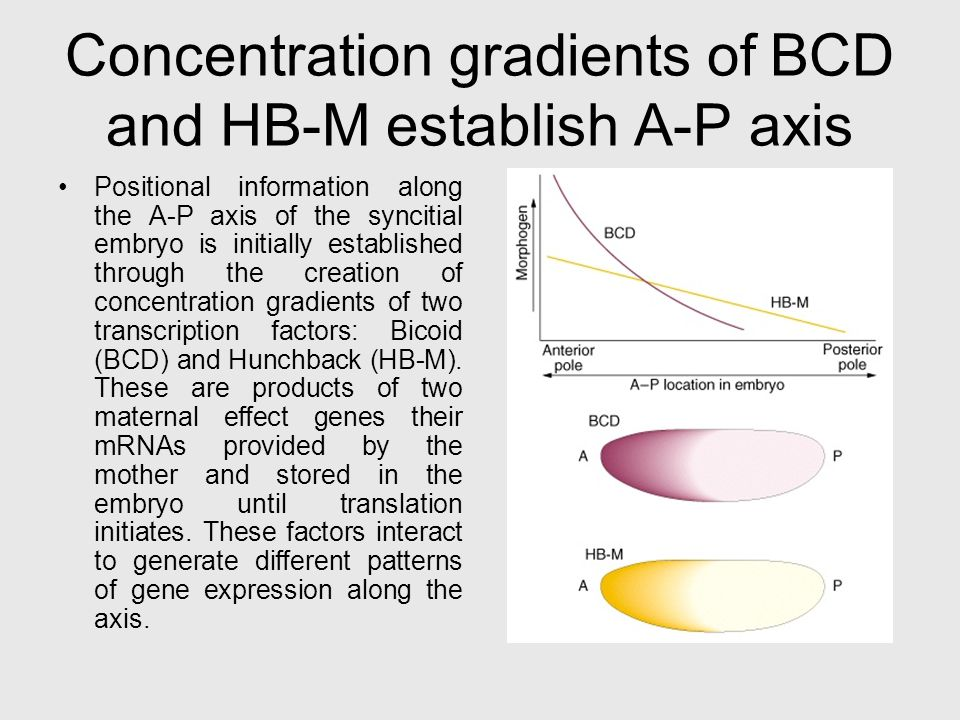 Concentration gradients of BCD and HB-M establish A-P axis Positional information along the A-P axis of the syncitial embryo is initially established through the creation of concentration gradients of two transcription factors: Bicoid (BCD) and Hunchback (HB-M).