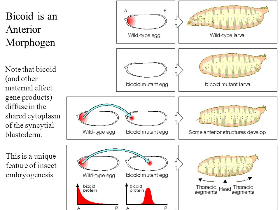 Bicoid is an Anterior Morphogen Note that bicoid (and other maternal effect gene products) diffuse in the shared cytoplasm of the syncytial blastoderm