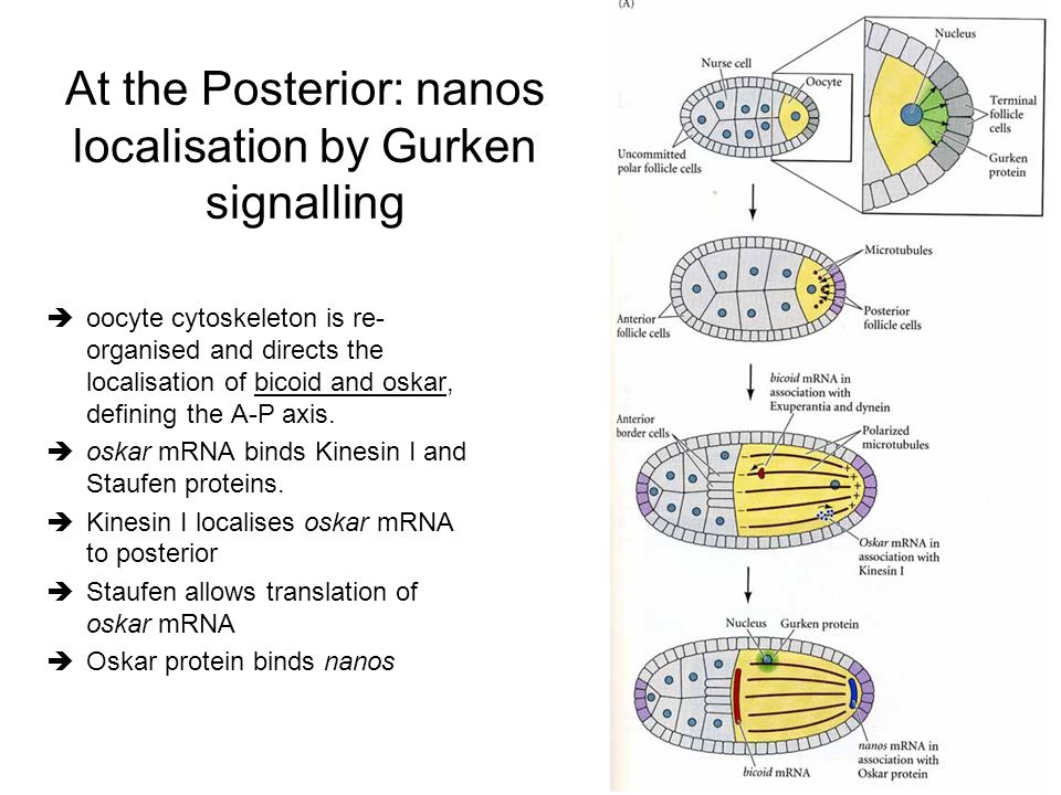 At the Posterior: nanos localisation by Gurken signalling èoocyte cytoskeleton is re- organised and directs the localisation of bicoid and oskar, defi