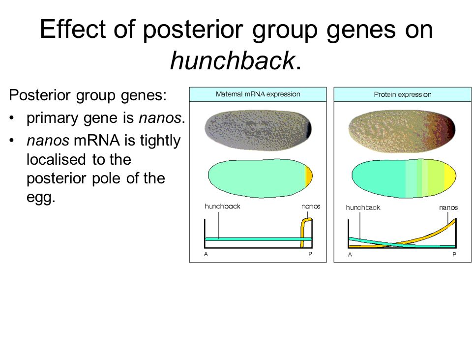 Effect of posterior group genes on hunchback. Posterior group genes: primary gene is nanos. nanos mRNA is tightly localised to the posterior pole of t