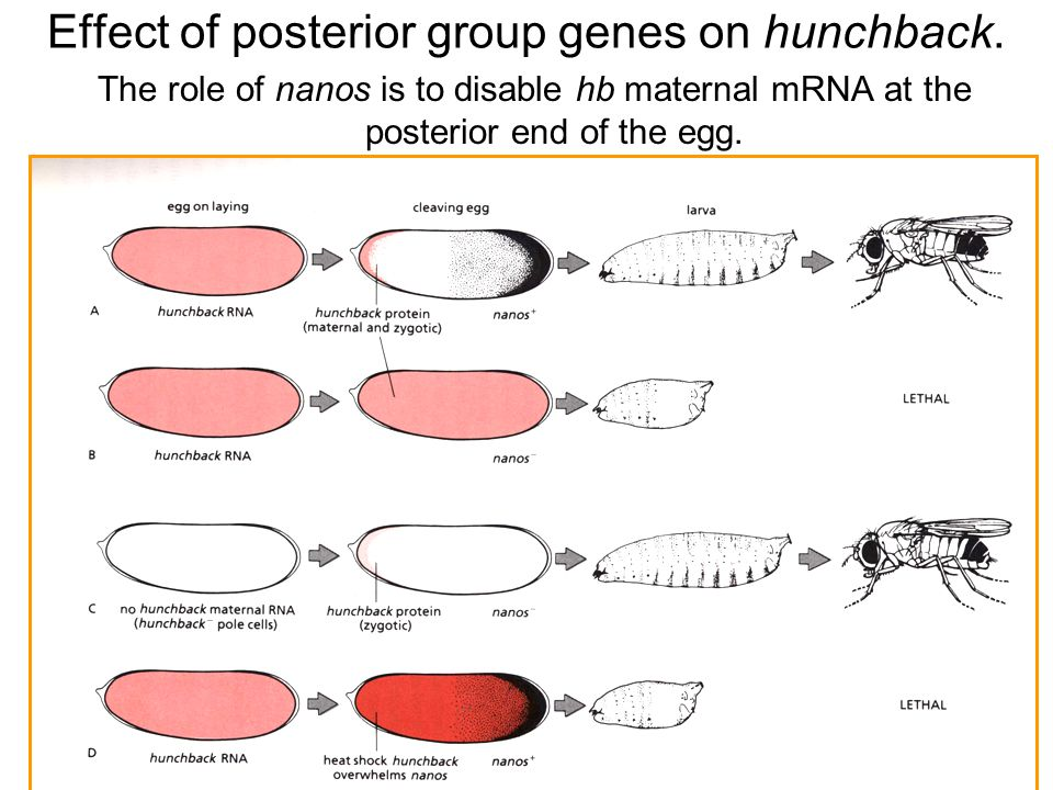 The role of nanos is to disable hb maternal mRNA at the posterior end of the egg.