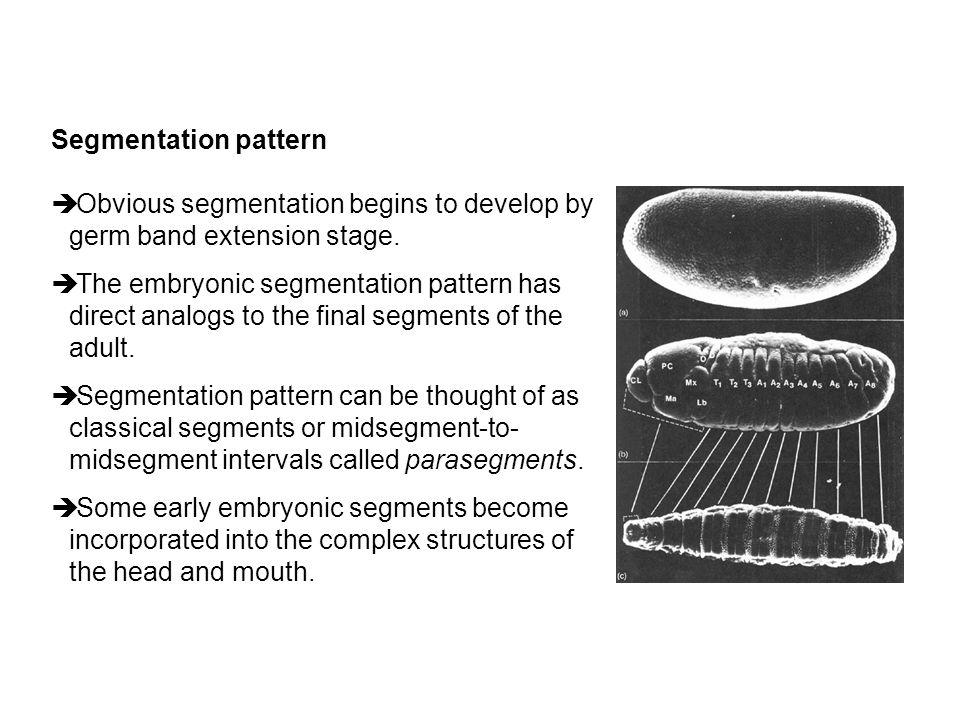 Segmentation pattern è Obvious segmentation begins to develop by germ band extension stage. è The embryonic segmentation pattern has direct analogs to