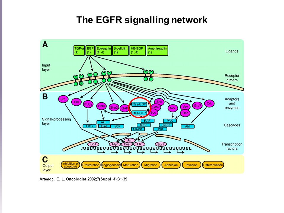 Arteaga, C. L. Oncologist 2002;7(Suppl 4):31-39 The EGFR signalling network