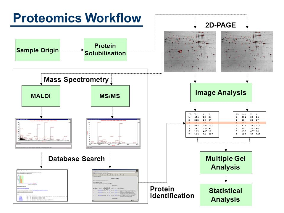 Proteomics Workflow Sample Origin Protein Solubilisation Image Analysis Database Search ID Vol X Y 1 454 23 24 2 222 28 87 3 12 20 12 4 662 262 101 5 49 222 90 6 113 485 10 7 119 98 987 Multiple Gel Analysis ID Vol X Y 1 654 23 24 2 25 28 87 3 187 21 16 4 672 262 111 5 54 222 90 6 113 487 10 7 125 98 987 MALDIMS/MS Protein identification 2D-PAGE Statistical Analysis Mass Spectrometry