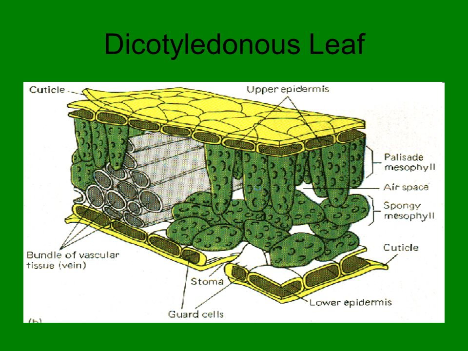 Differences between Dicot and Monocot.