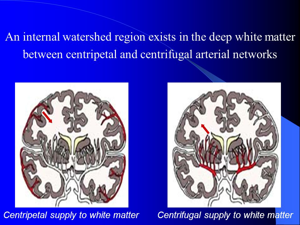 Perfusion of the deep white matter Supplied by perforating end-arteries (< 400  m in diameter) Each end-artery gives off perpendicularly oriented short branches Each branch provides the blood supply to a cylindrically shaped metabolic unit One distributing vessel irrigates one metabolic unit