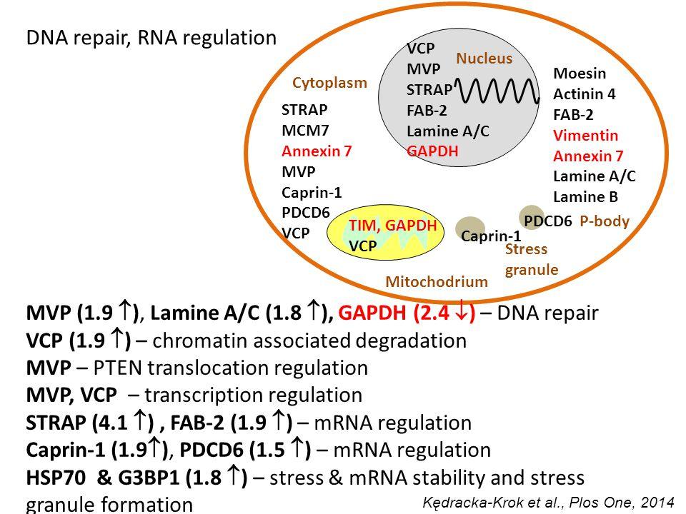 VCP MVP STRAP FAB-2 Lamine A/C GAPDH P-body PDCD6 Stress granule Caprin-1 STRAP MCM7 Annexin 7 MVP Caprin-1 PDCD6 VCP TIM, GAPDH VCP Moesin Actinin 4 FAB-2 Vimentin Annexin 7 Lamine A/C Lamine B Nucleus Mitochodrium Cytoplasm MVP (1.9  ), Lamine A/C (1.8  ), GAPDH (2.4  ) – DNA repair VCP (1.9  ) – chromatin associated degradation MVP – PTEN translocation regulation MVP, VCP – transcription regulation STRAP (4.1  ), FAB-2 (1.9  ) – mRNA regulation Caprin-1 (1.9  ), PDCD6 (1.5  ) – mRNA regulation HSP70 & G3BP1 (1.8  ) – stress & mRNA stability and stress granule formation DNA repair, RNA regulation Kędracka-Krok et al., Plos One, 2014