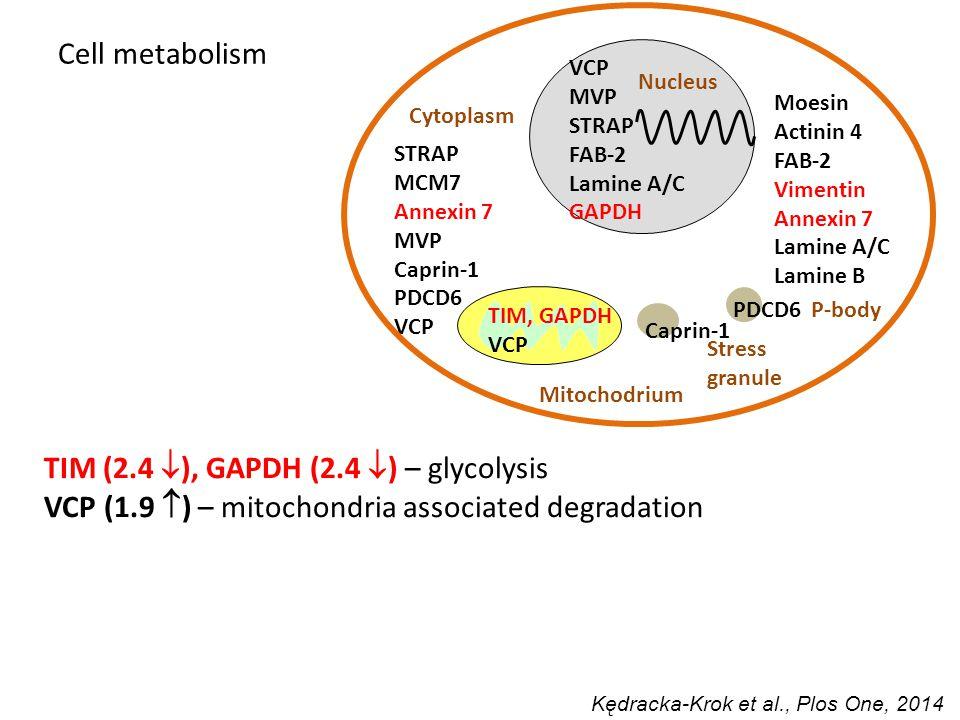 VCP MVP STRAP FAB-2 Lamine A/C GAPDH P-body PDCD6 Stress granule Caprin-1 STRAP MCM7 Annexin 7 MVP Caprin-1 PDCD6 VCP TIM, GAPDH VCP Moesin Actinin 4 FAB-2 Vimentin Annexin 7 Lamine A/C Lamine B Nucleus Mitochodrium Cytoplasm TIM (2.4  ), GAPDH (2.4  ) – glycolysis VCP (1.9  ) – mitochondria associated degradation Cell metabolism Kędracka-Krok et al., Plos One, 2014