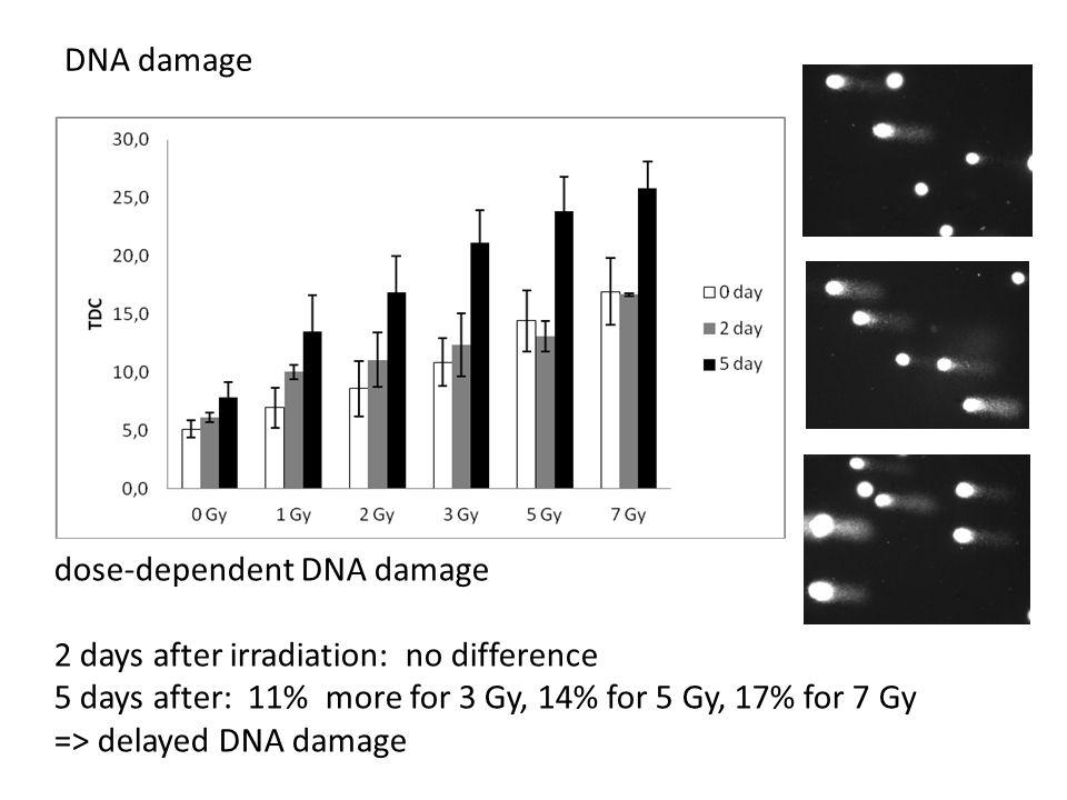 dose-dependent DNA damage 2 days after irradiation: no difference 5 days after: 11% more for 3 Gy, 14% for 5 Gy, 17% for 7 Gy => delayed DNA damage DNA damage