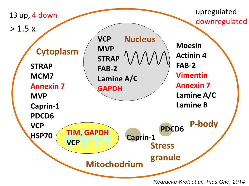 > 1.5 x VCP MVP STRAP FAB-2 Lamine A/C GAPDH P-body PDCD6 Stress granule Caprin-1 STRAP MCM7 Annexin 7 MVP Caprin-1 PDCD6 VCP HSP70 TIM, GAPDH VCP Moesin Actinin 4 FAB-2 Vimentin Annexin 7 Lamine A/C Lamine B Nucleus Mitochodrium Cytoplasm upregulated downregulated 13 up, 4 down Kędracka-Krok et al., Plos One, 2014