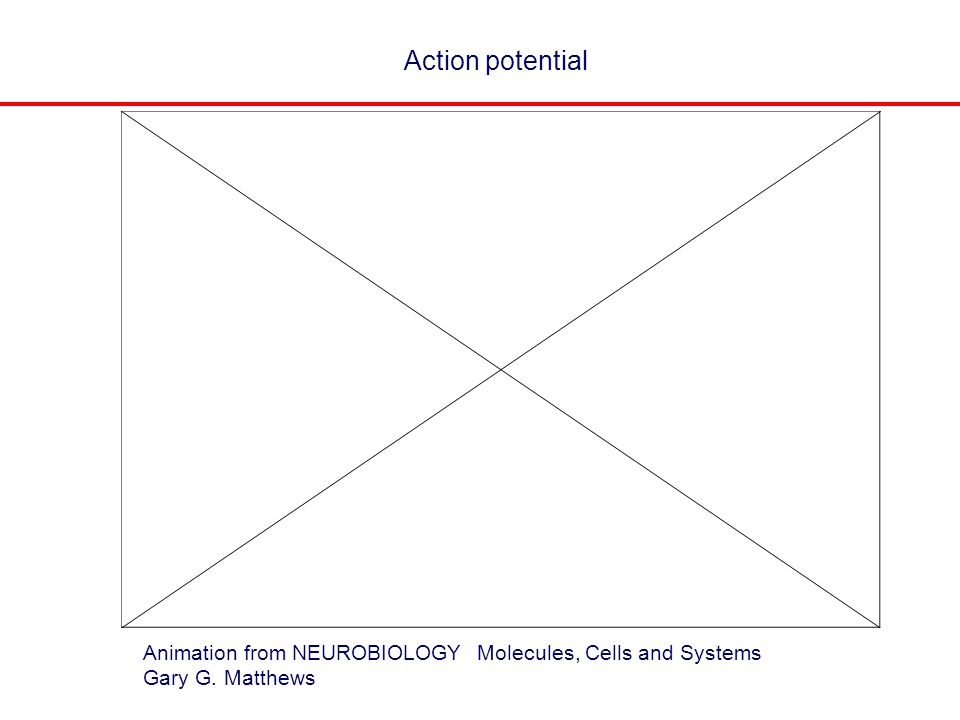 Action potential Animation from NEUROBIOLOGY Molecules, Cells and Systems Gary G. Matthews