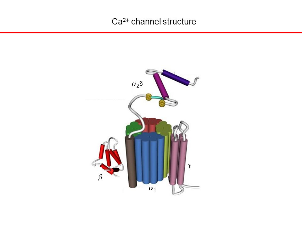 Ca 2+ channel structure   22 11