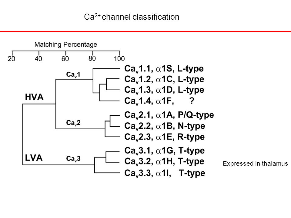 Ca 2+ channel classification Expressed in thalamus