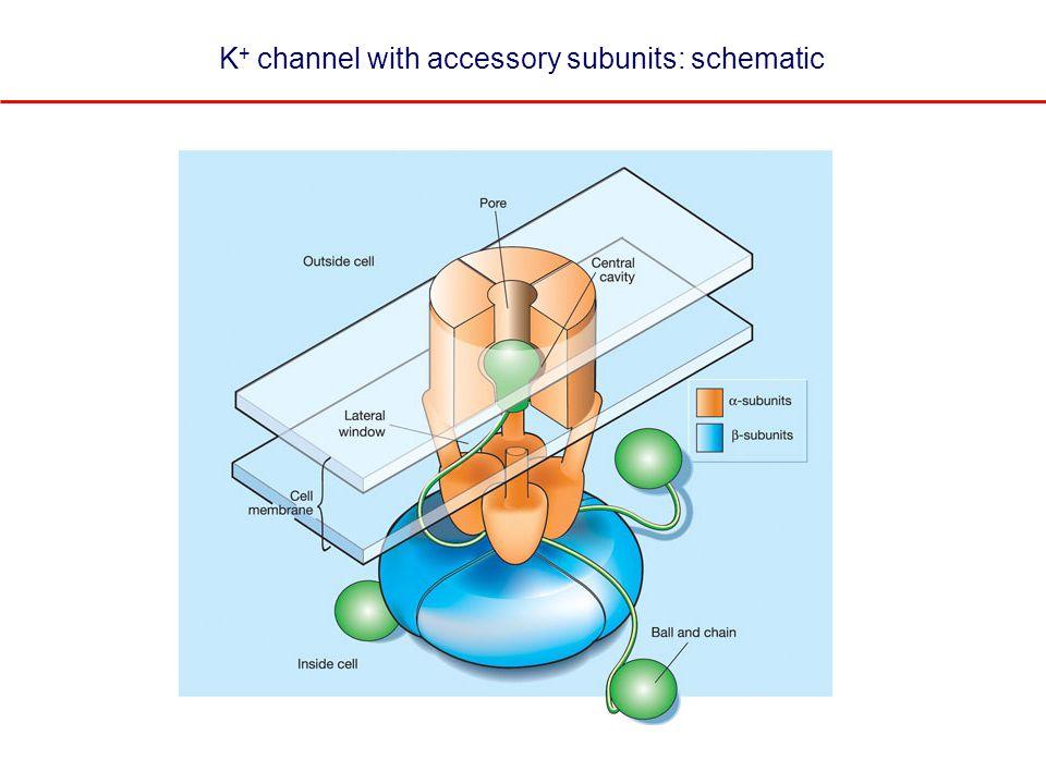 KCNQ2 and KCNQ3 co-assemble to form heterotetramers Wang et al (1998)