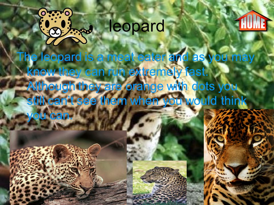 leopard The leopard is a meat eater and as you may know they can run extremely fast.