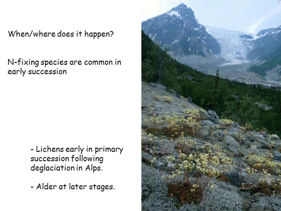 When/where does it happen? N-fixing species are common in early succession - Lichens early in primary succession following deglaciation in Alps. - Ald