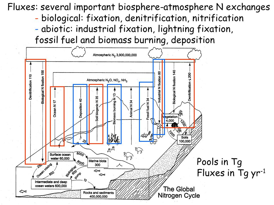 Pools in Tg Fluxes in Tg yr -1 Biological cycling within systems greatly outweighs inputs/outputs (i.e., N cycle is much more closed than the C cycle)