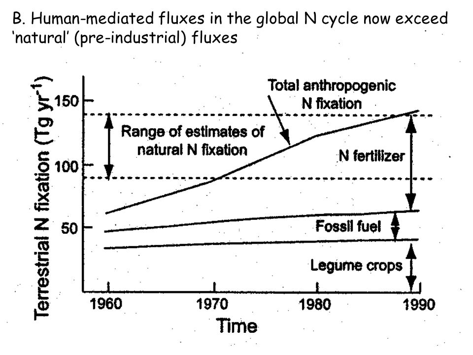 Types of N fixers Free-living N fixers –Heterotrophic bacteria that get organic C from environment and where N is limiting (e.g., decaying logs) –Rates low due to low C supply and lack of O 2 protection (0.1-0.5 g-N m -2 y -1 ) Also, cyanobacteria (free-living photo-autotrophs); symbiotic lichens (cyanobacteria with fungi offering physical protection)