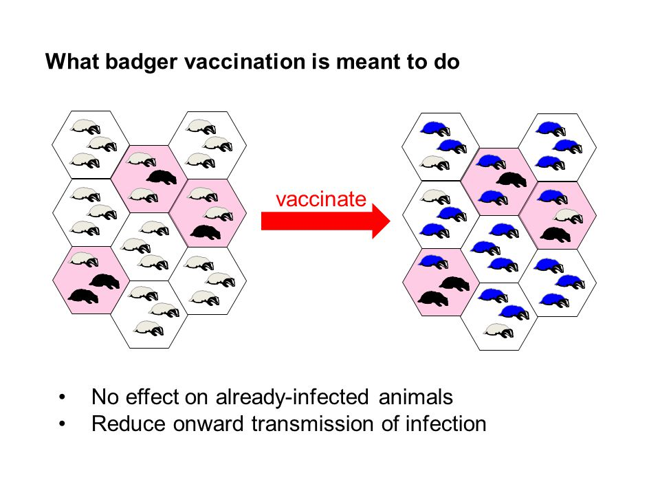 What badger vaccination is meant to do No effect on already-infected animals Reduce onward transmission of infection vaccinate