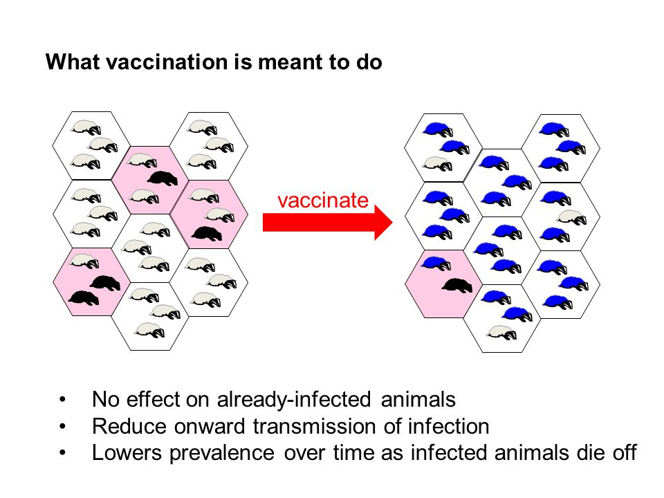 vaccinate What vaccination is meant to do No effect on already-infected animals Reduce onward transmission of infection Lowers prevalence over time as infected animals die off