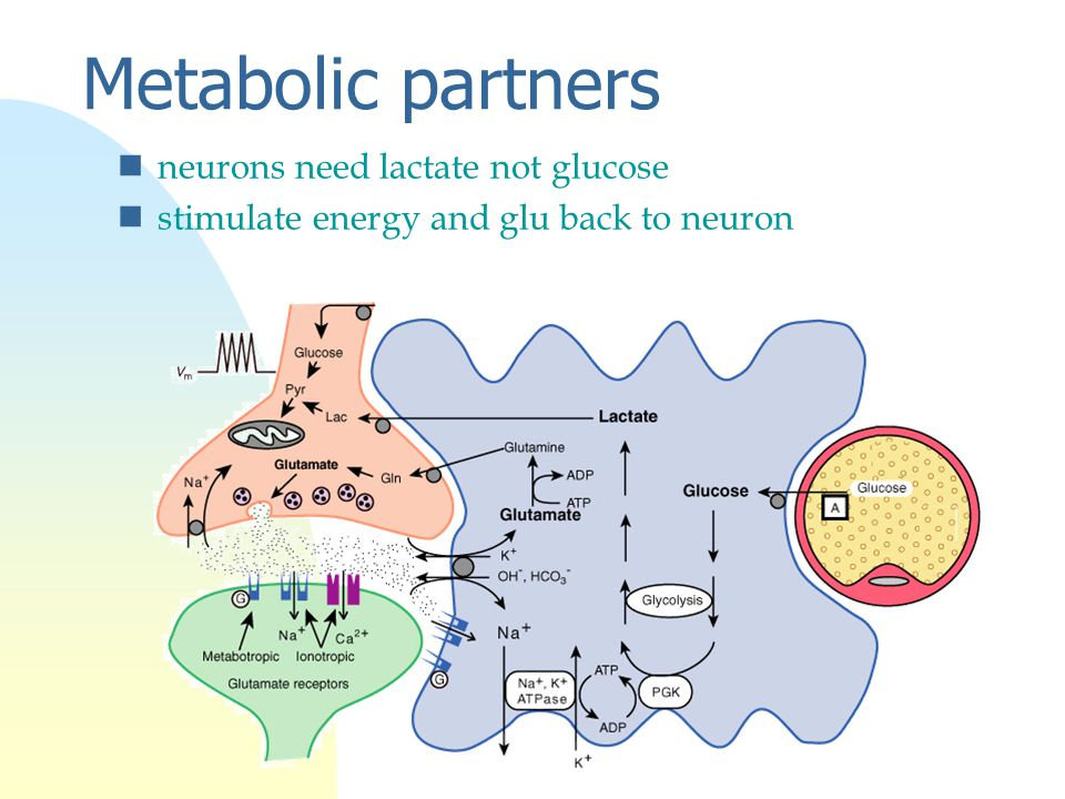 Metabolic partners nneurons need lactate not glucose nstimulate energy and glu back to neuron
