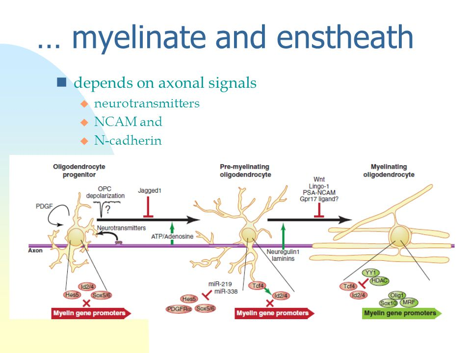 … myelinate and enstheath ndepends on axonal signals u neurotransmitters u NCAM and u N-cadherin