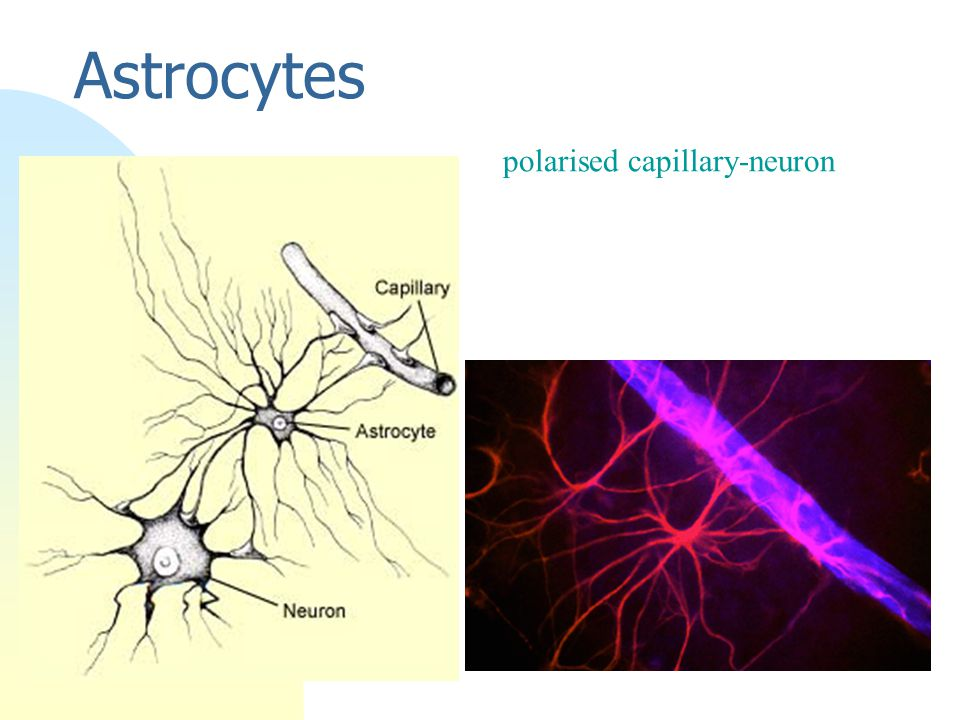 Astrocytes polarised capillary-neuron