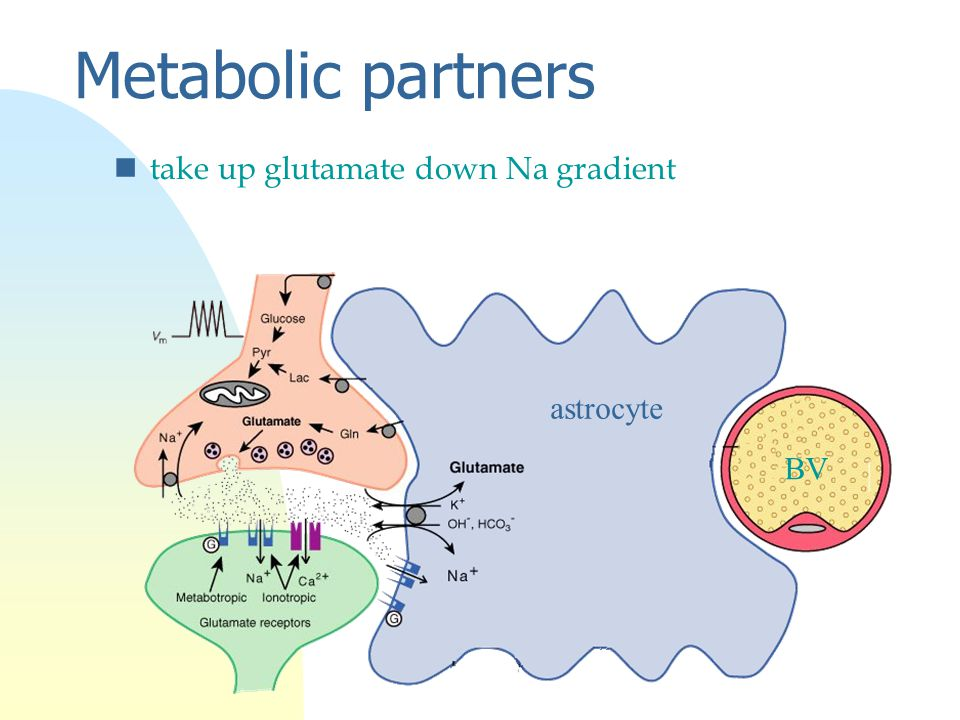 Metabolic partners ntake up glutamate down Na gradient astrocyte BV