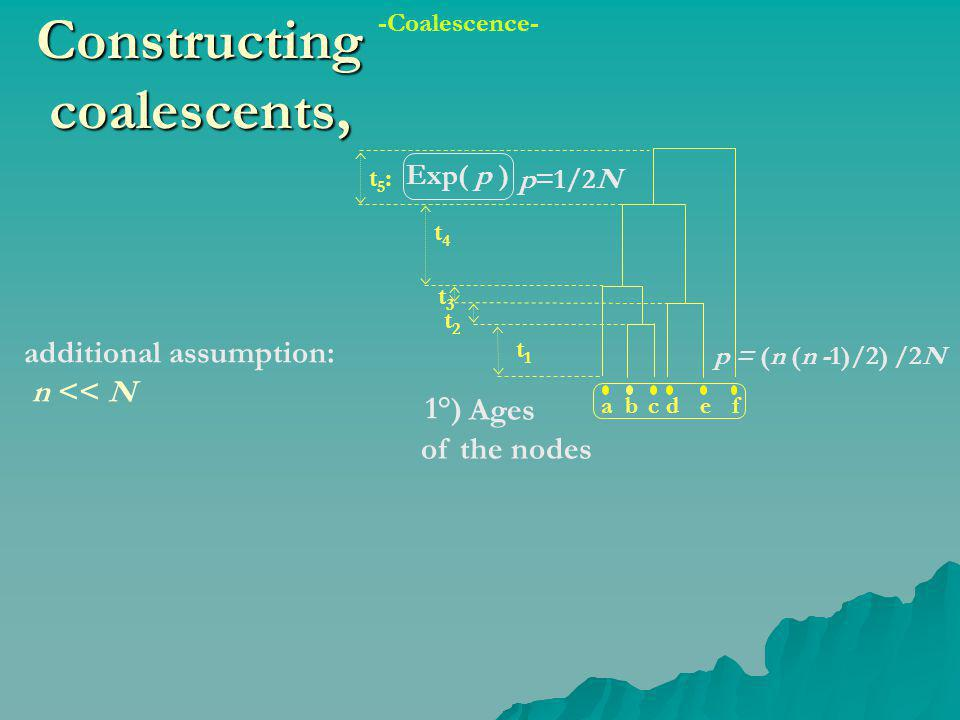 Constructing coalescents, abcdef 1°) Ages of the nodes t3t3 p=1/2N Exp( p ) t1t1 t2t2 t4t4 t5:t5: additional assumption: n << N p = (n (n -1)/2) /2N -Coalescence-