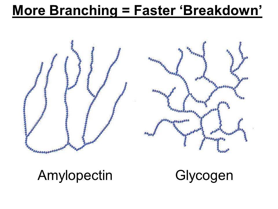 More Branching = Faster 'Breakdown' Amylopectin Glycogen