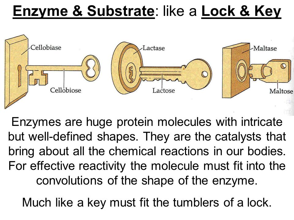 Enzyme & Substrate: like a Lock & Key Enzymes are huge protein molecules with intricate but well-defined shapes.