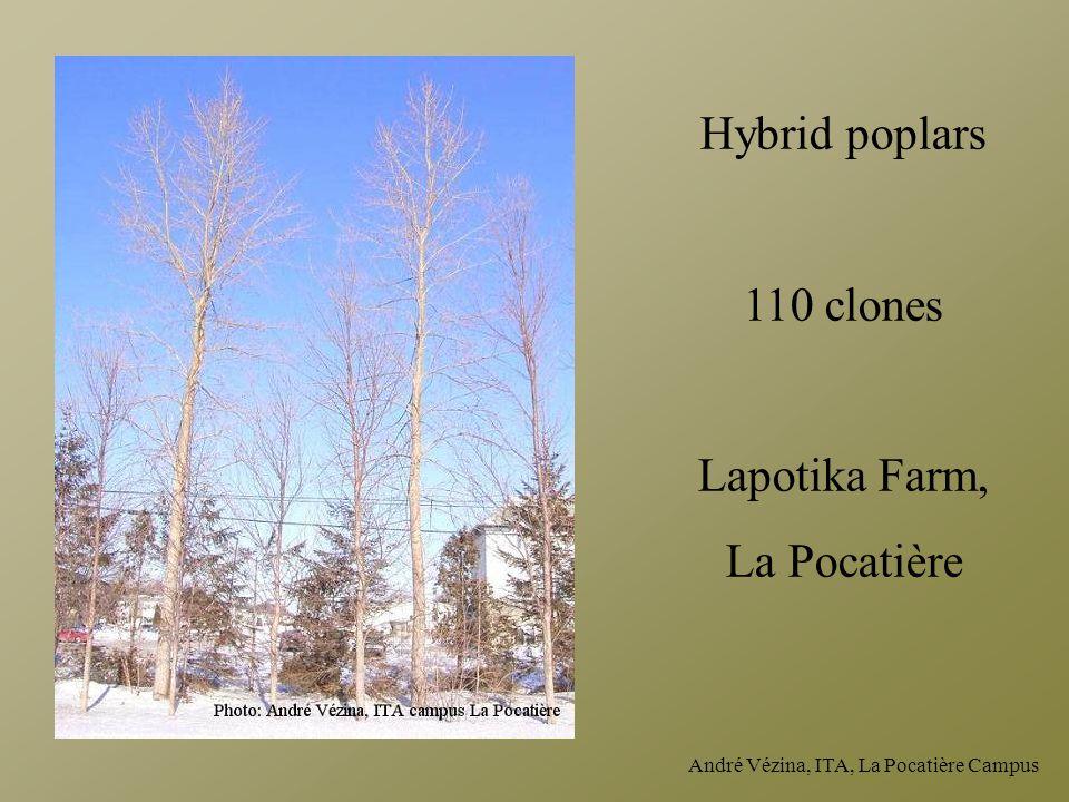 André Vézina, ITA, La Pocatière Campus Hybrid poplars 110 clones Lapotika Farm, La Pocatière