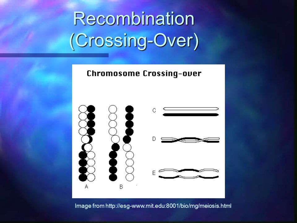 Recombination (Crossing-Over) Image from http://esg-www.mit.edu:8001/bio/mg/meiosis.html