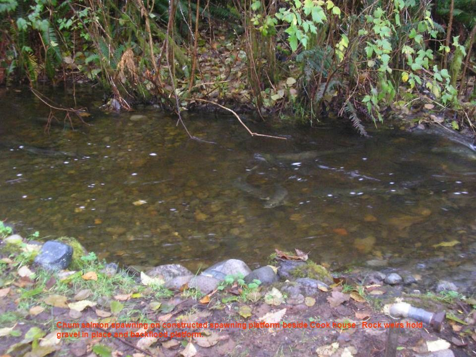 Chum salmon spawning on constructed spawning platform beside Cook house.