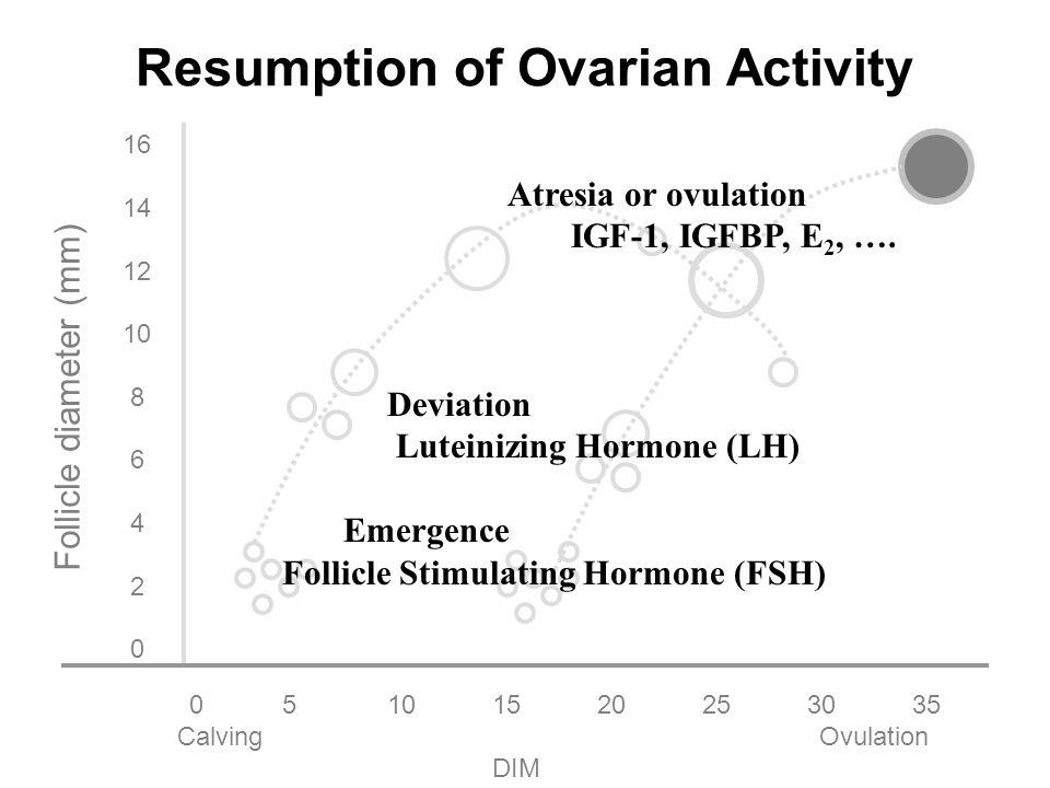 051015202530 35 Calving Ovulation DIM 16 14 12 10 8 6 4 2 0 Follicle diameter (mm) Resumption of Ovarian Activity 33.8 days (1106 Lactations; Petersson et al.