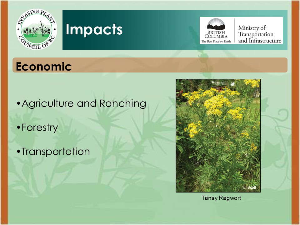 Tansy Ragwort Economic Agriculture and Ranching Forestry Transportation Impacts L. Scott