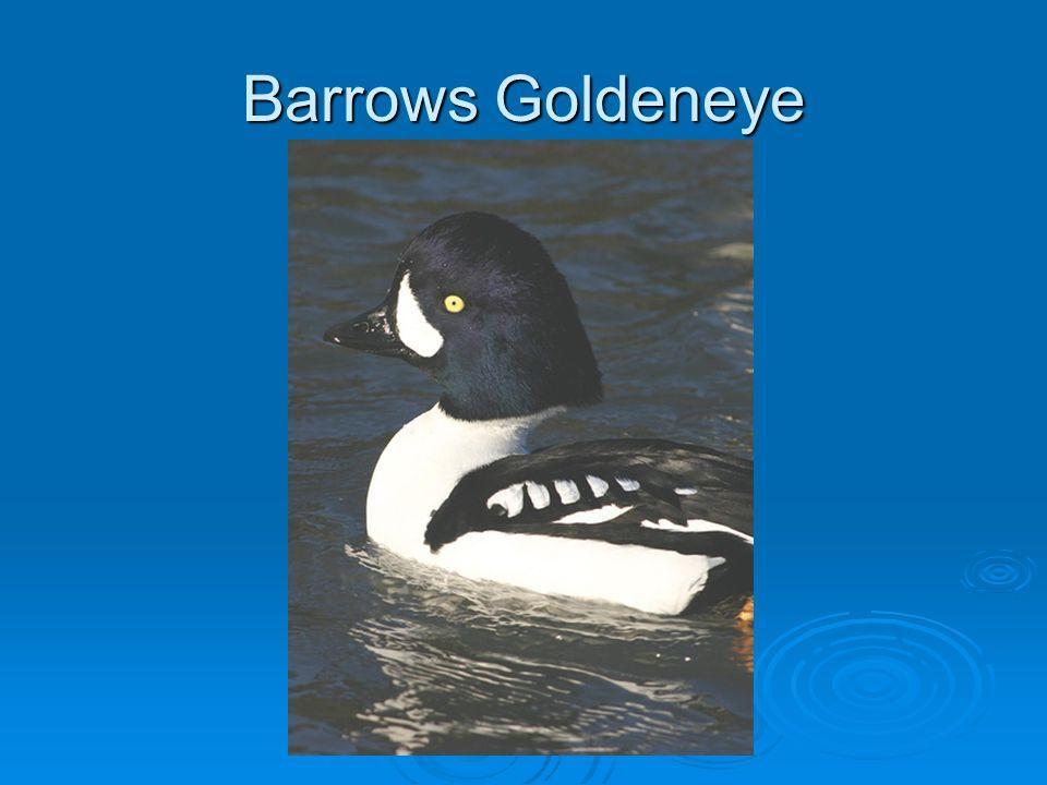 Barrows Goldeneye