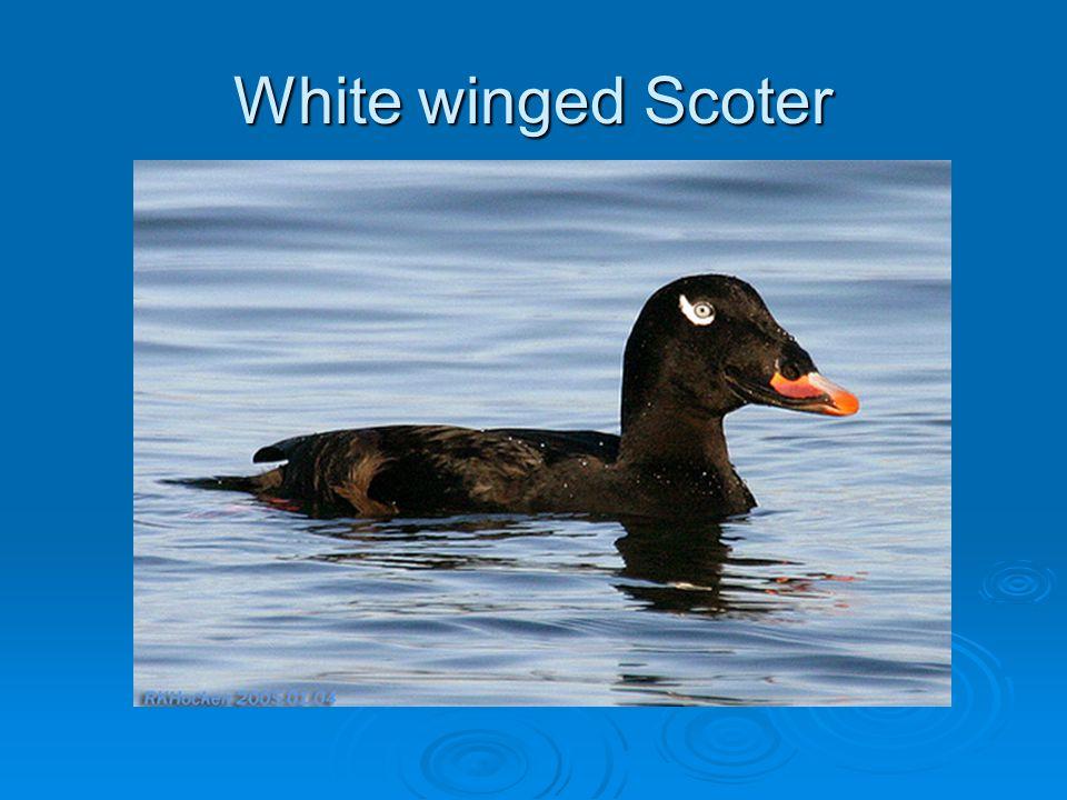 White winged Scoter