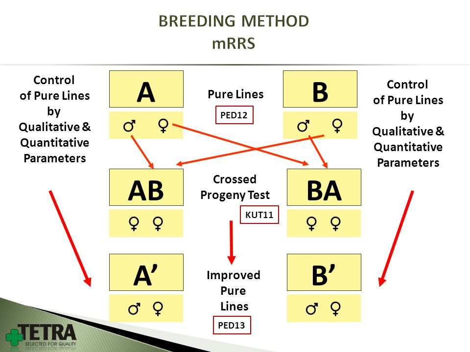AB ♂ ♀ ABBA ♀ Pure Lines Crossed Progeny Test ♂ ♀ A'B' ♂ ♀ Improved Pure Lines Control of Pure Lines by Qualitative & Quantitative Parameters Control of Pure Lines by Qualitative & Quantitative Parameters PED12 KUT11 PED13