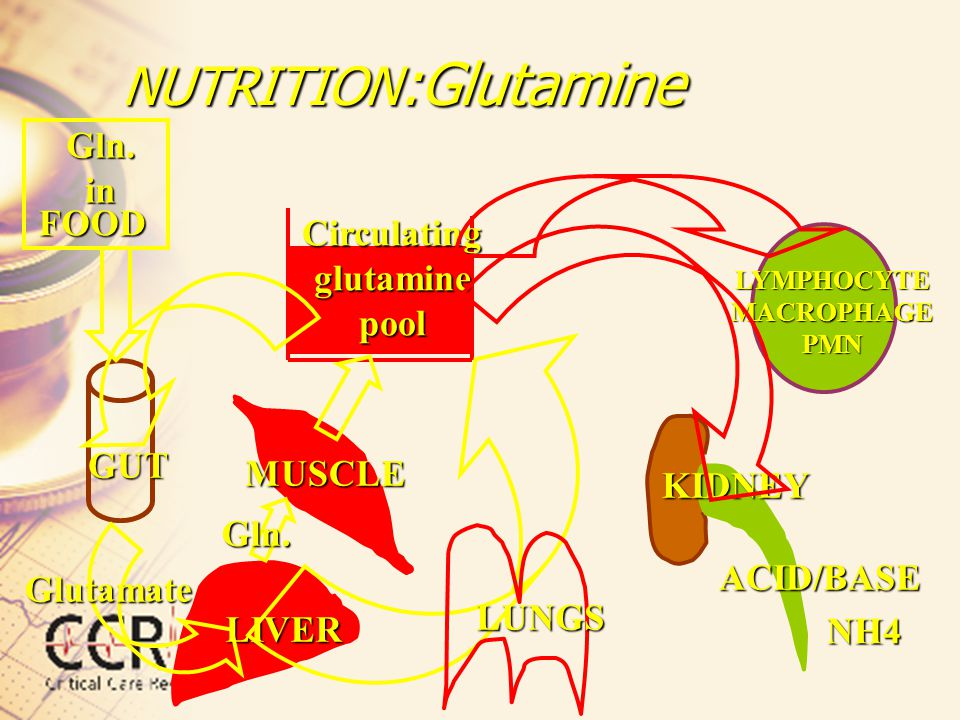 NUTRITION :Glutamine Circulating glutamine pool GUT MUSCLE KIDNEY LIVER LYMPHOCYTE MACROPHAGE PMN FOOD LUNGS ACID/BASE NH4 Glutamate Gln. in Gln.