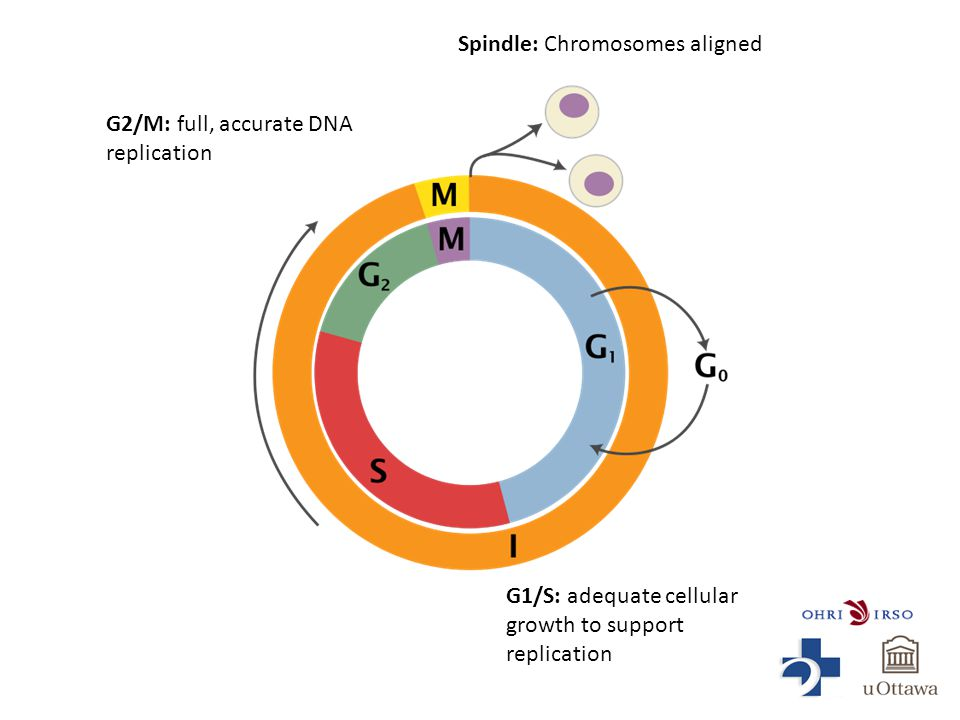 G1/S: adequate cellular growth to support replication G2/M: full, accurate DNA replication Spindle: Chromosomes aligned