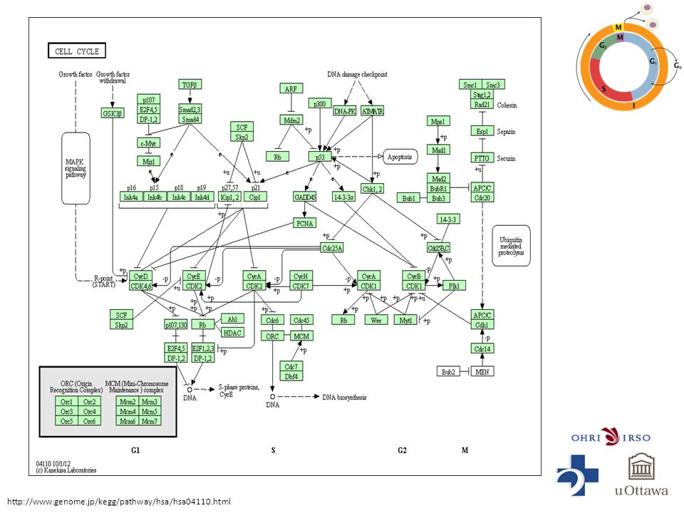 http://www.genome.jp/kegg/pathway/hsa/hsa04110.html