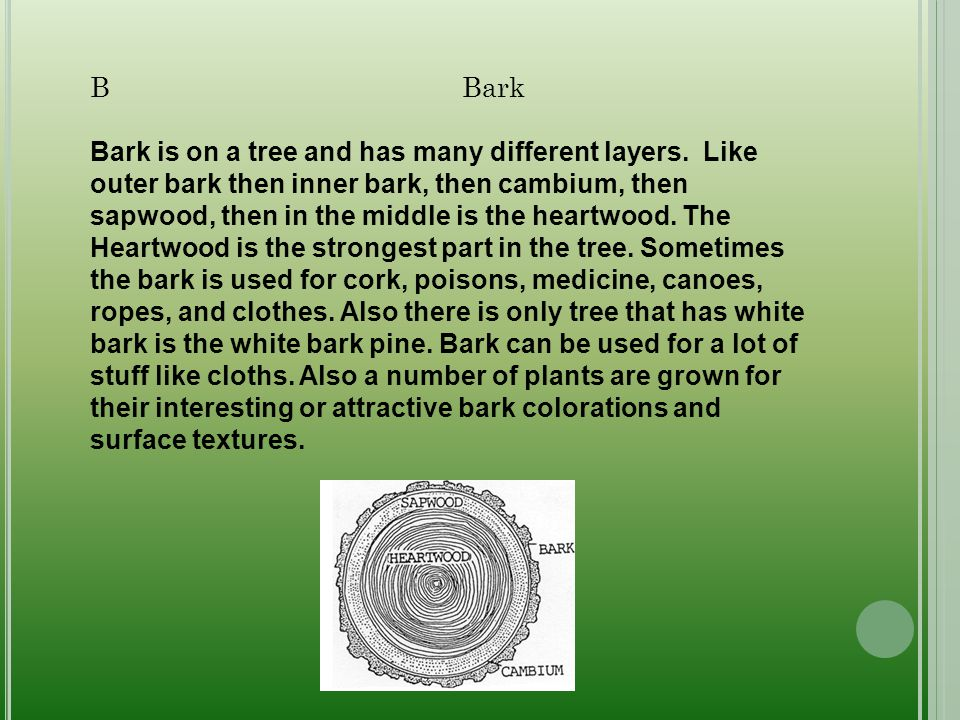 B Bark Bark is on a tree and has many different layers. Like outer bark then inner bark, then cambium, then sapwood, then in the middle is the heartwo