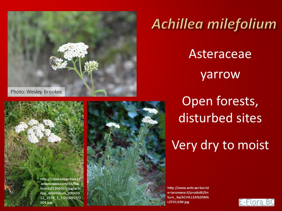 Asteraceae yarrow Open forests, disturbed sites Very dry to moist Photo: Wesley Brookes http://classconnection.s3.amazonaws.com/33/flas hcards/2204033