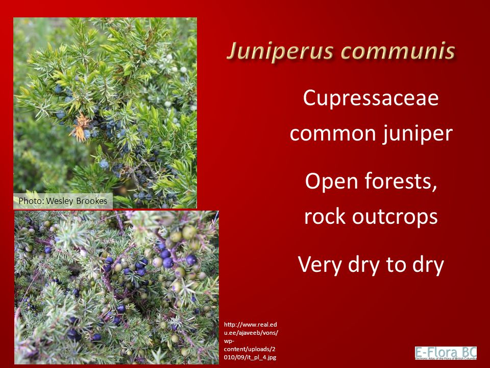 Cupressaceae common juniper Open forests, rock outcrops Very dry to dry Photo: Wesley Brookes http://www.real.ed u.ee/ajaveeb/vons/ wp- content/upload