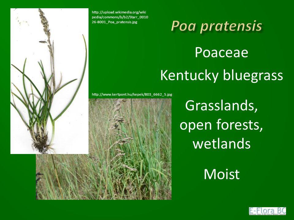 Poaceae Kentucky bluegrass Grasslands, open forests, wetlands Moist http://upload.wikimedia.org/wiki pedia/commons/b/b2/Starr_0010 26-8001_Poa_pratensis.jpg http://www.kertpont.hu/kepek/803_6662_5.jpg
