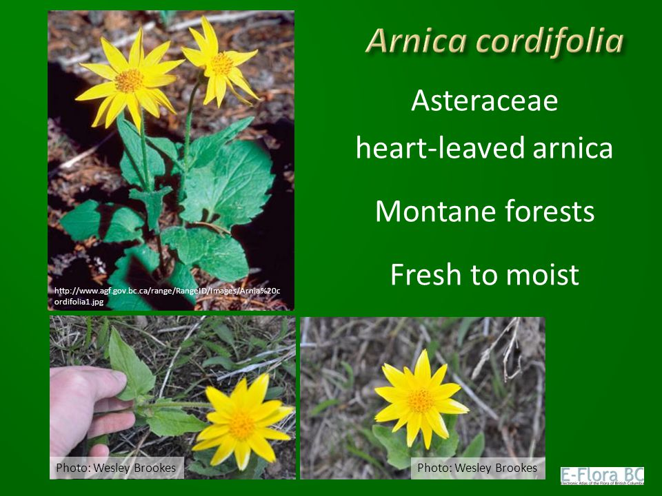 Asteraceae heart-leaved arnica Montane forests Fresh to moist Photo: Wesley Brookes http://www.agf.gov.bc.ca/range/RangeID/Images/Arnia%20c ordifolia1