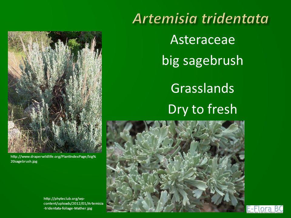 Asteraceae big sagebrush Grasslands Dry to fresh http://www.draperwildlife.org/PlantIndexPage/big% 20sagebrush.jpg http://phyteclub.org/wp- content/uploads/2012/01/Artemisia -tridentata-foliage-Mather.jpg