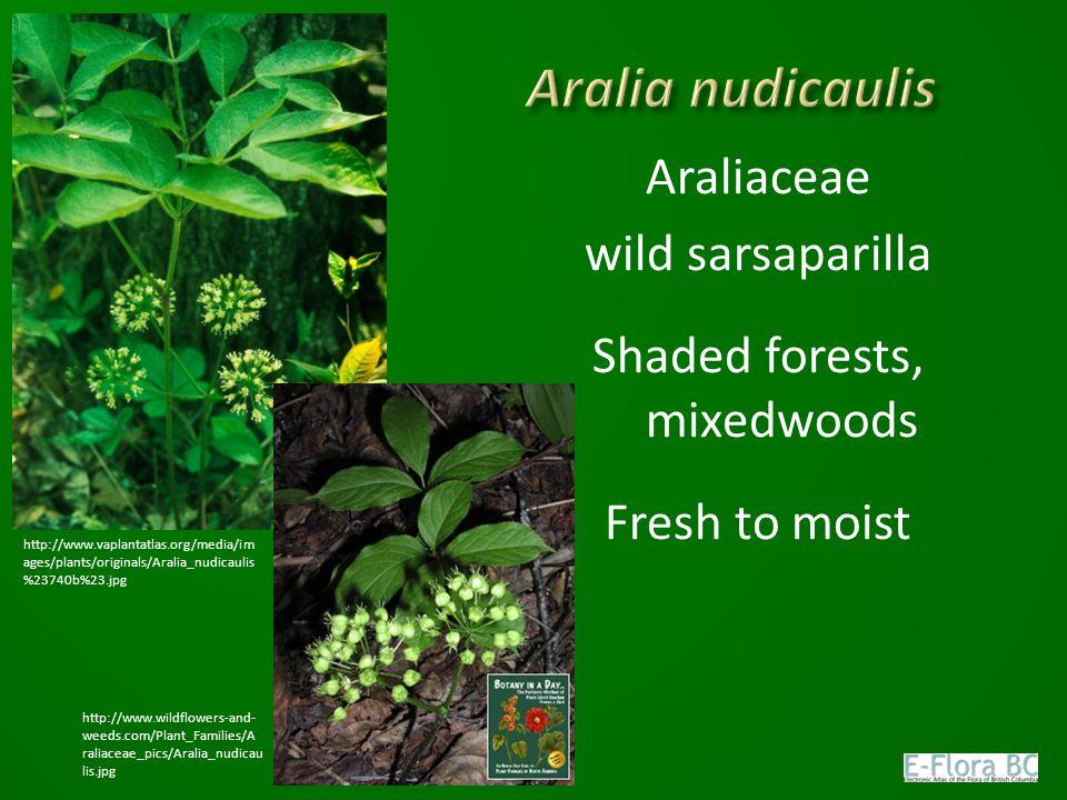 Araliaceae wild sarsaparilla Shaded forests, mixedwoods Fresh to moist http://www.vaplantatlas.org/media/im ages/plants/originals/Aralia_nudicaulis %23740b%23.jpg http://www.wildflowers-and- weeds.com/Plant_Families/A raliaceae_pics/Aralia_nudicau lis.jpg